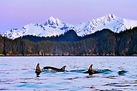 killer whale or orca, Orcinus orca, surfacing, at sunrise, with snow covered mountains in background, Kenai Fjords National Park, Alaska, USA, Resurrection Bay, aka Blying Sound and Harding Gateway, Pacific Ocean