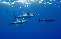 RM0117-D. Yellowfin Tuna (Thunnus albacores), two large (1.2 meter long) males with spawning coloration and banded pattern chasing a female (at right) just before she releases eggs for them to fertilize. Baja, Mexico, Pacific Ocean.<br /> Photo Copyright &copy; Brandon Cole. All rights reserved worldwide.  www.brandoncole.com