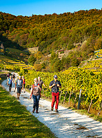 Oesterreich, Niederoesterreich, Kulturlandschaft Wachau - UNESCO Weltkultur- und Naturerbe, Weissenkirchen in der Wachau: Weinort am linken Donauufer - wandern in den Weinbergen | Austria, Lower Austria, Wachau Cultural Landscape - UNESCO World's Cultural and Natural Heritage, Weissenkirchen in der Wachau: wine village on the left bank of the Danube - hiking in the vineyards