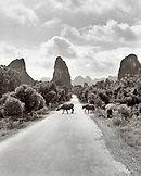 CHINA, Guilin, water buffalo cross the road in rural Guilin (B&W)