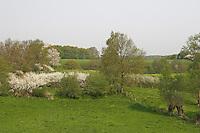 Hecke, Knick, Knicklandschaft im Frühjahr mit blühender Schlehe, Kopfweiden, Kopfweide, kleinräumig gegliederte Wiesenlandschaft, hedge