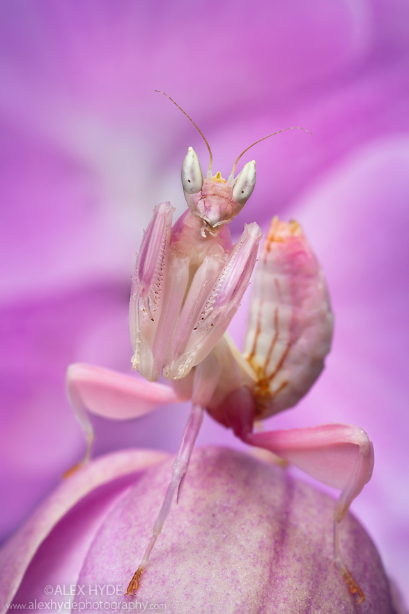 Malaysian Orchid Mantis {Hymenopus coronatus} showing pink colouration camouflaged on an orchid. Captive. Originating from Malaysia. website