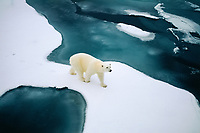 polar bear, Ursus maritimus, on melting sea ice off Jackson Island, Franz Josef Land, Russia, Arctic Ocean