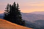 Evergreens at sunrise in the hills above Ukiah, Mendocino County, California