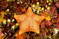 Peltaster placenta, Kissenseestern, Cushion star fish or Penta star fish, Adria, Adriatisches Meer, Mittelmeer, Kornaten, Dalmatien, Kroatien, Adriatic Sea, Mediterranean Sea, Kornati Islands, Dalmatia, Croatia