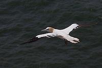 Basstölpel, Baßtölpel, im Flug, Flugbild, fliegend, noch nicht voll ausgefärbter, jüngerer Vogel, Tölpel, Sula bassana, Morus bassanus, northern gannet