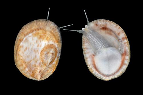 White Tortoiseshell Limpet - Tectura virginea