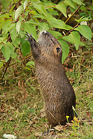 Nutria grabbing dinner from dogwood tree in east Multnomah County, Oregon