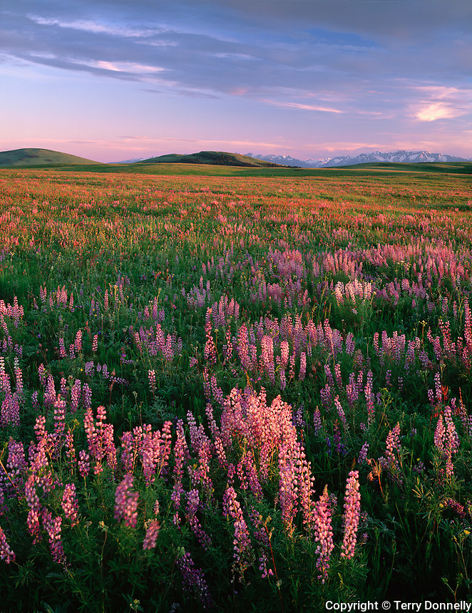 Wallowa County, OR<br /> Praire meadow with flowering lupine on Zumwalt praire with Findley Buttes and the Wallowa mountains in the distance.