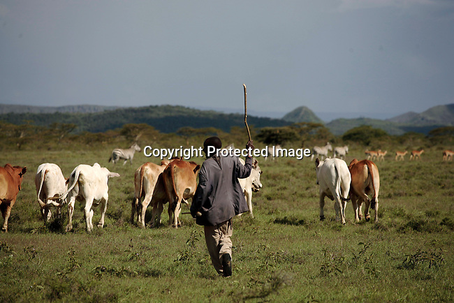 A farm worker with cattle on Soysambu farm in Kenya. Behind the cattle some wildlife such as Zebras and Impalas. Photo; Per-Anders Pettersson/ Getty Images