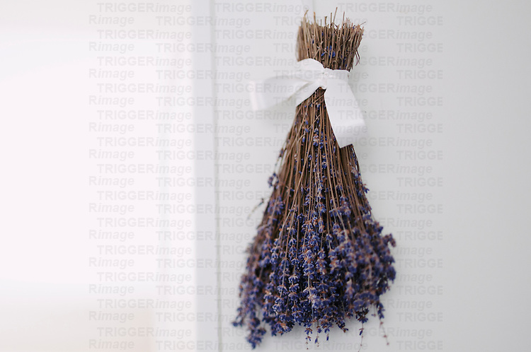 Bunch of dried lavender hanging with white ribbon