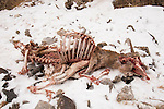 Argali (Ovis ammon) female carcass, killed by Snow Leopard (Panthera uncia), Sarychat-Ertash Strict Nature Reserve, Tien Shan Mountains, eastern Kyrgyzstan