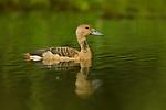 Lesser Whistling Duck (Dendrocygna javanica), Diyasaru Park, Colombo, Sri Lanka