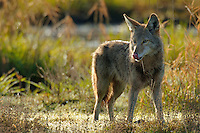 Coyote (Canis latrans) in wetland marsh.  Pacific Northwest.  Spring.