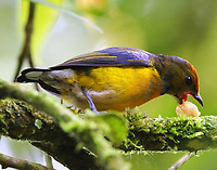 Immature male tawny-capped euphonia taking a big bite of fruit