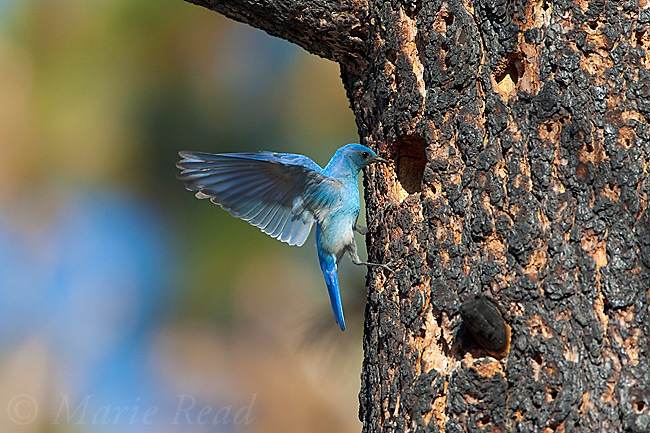 Mountain Bluebird (Sialia currucoides), male landing outside potential nest hole (occupied by Lewis's Woodpecker), Mono Lake Basin, California, USA