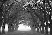 Foggy trees, Lubbock, Texas.<br /> <br /> Nikon F3HP, 50mm lens, Ilford FP4 film.