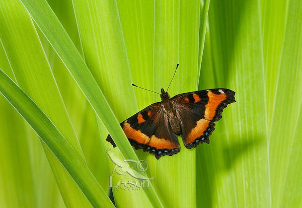 Milbert's Tortoiseshell butterfly (Nymphalis milberti) on blue flag. North America.