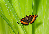 Milbert's Tortoiseshell butterfly (Nymphalis milberti) on blue flag. North America.