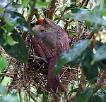 Female cardinal spreads her wings and tail enough to cover the whole nest to keep her chicks dry.