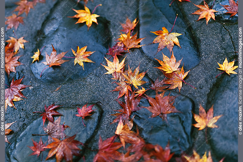 Fallen yellow Japanese maple leaves on shiny wet stones after a rain in Kyoto, Japan, Wabi-Sabi concept, abstract tranquil background. Image © MaximImages, License at https://www.maximimages.com