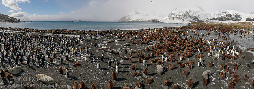 Colonies of King Penguins (Mirounga leonina) and Southern Elephant Seals (Mirounga leonina) on beach. Digitally stitched panoramic Image.  Gold Harbour, South Georgia. November.