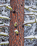 Okanogan National Forest, WA<br /> Detail of a ponderosa pine (Pinus ponderosa) trunk with mossy, snow covered branches
