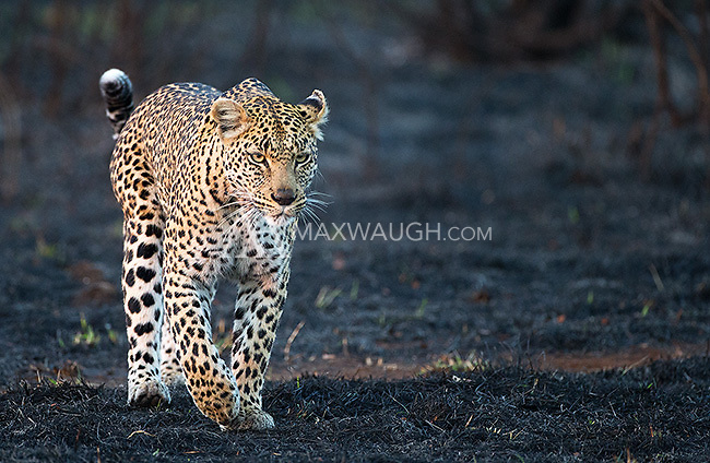 We were fortunate to see three leopards in Kruger, where it can often be quite difficult to find this species.