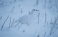 A Willow Ptarmigan near Eureka, Alaska. Photo by James R. Evans