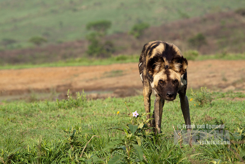 African Wild Dogs (Lycaon pictus)...Endangered species...Marking it's territory by urinating. Studies show the males mark the boundaries of their territories while females the interior...Hluhluwe Imfolozi Game Reserve..Kwazulu-Natal, South Africa..November 2010.