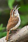 Carolina Wren (Thryothorus ludovicianus) singing on a branch in Toronto, Ontario, Canada.