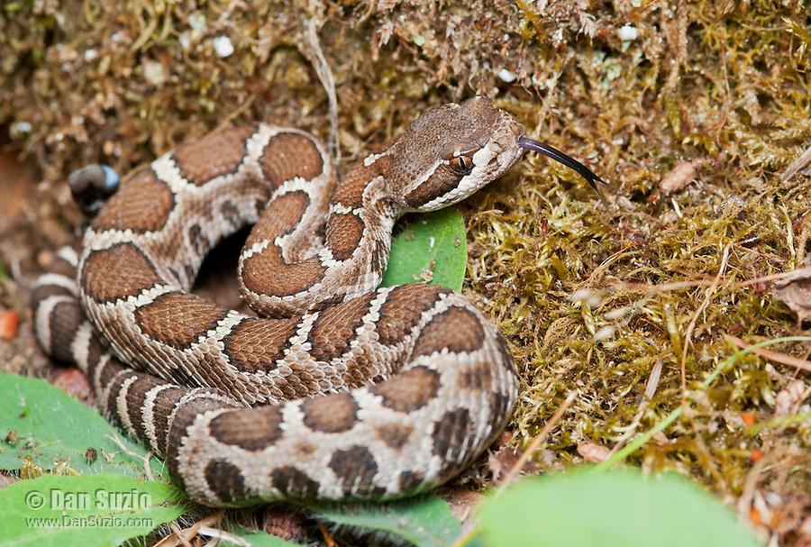 Northern Pacific rattlesnake, Crotalus viridis oreganus. Mendocino County, California