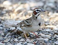 Lark sparrow adult