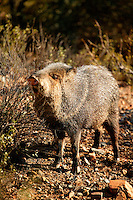 Javelina (Tayassu tajacu) at the Arizona-Sonora Desert Museum, Tucson, Arizona.