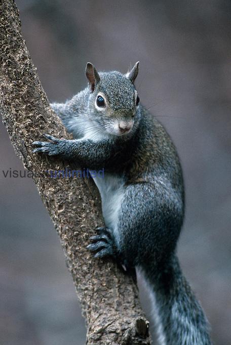 Gray Squirrel ,Sciurus carolinensis,. USA.
