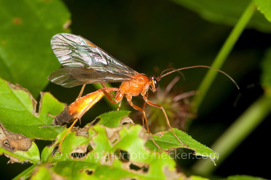 Schlupfwespe, Netelia spec., Orange Caterpillar Parasitic Wasp