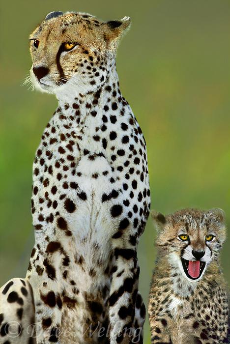 615004011 wild adult and cub cheetahs acinonyx jubatus stick close together on the open veldt in masai mara national park in kenya