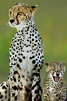 615004011 wild adult and cub cheetahs acinonyx jubatus stick close together on the open veldt in masai mara national park in kenya