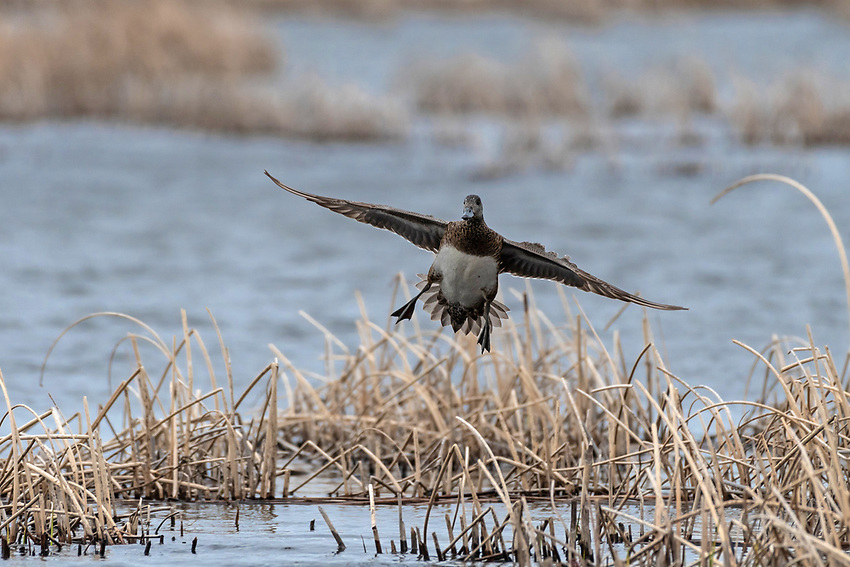 An American Widgeon (Anas americana) hen lands in the coastal wetlands of Southcentral Alaska. Photo by James R. Evans