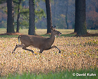 1107-0806  White-tailed Deer, Alert and Running in Autumn, Doe (Female), Odocoileus virginianus  © David Kuhn/Dwight Kuhn Photography