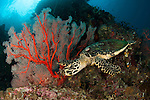 Close up view of a Hawksbill turtle next to a red sea fan on a reef in Raja Ampat, West Papua, Indonesia