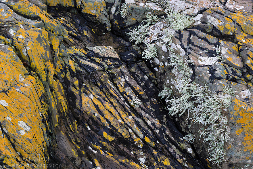 Basalt covered in various coastal lichen species including Sea Ivory (Ramalina siliquosa). Anglesey, Wales, UK. December.