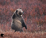 Grizzly bear in willows standing on hind legs. Bridger-Teton National Forest, Wyoming.