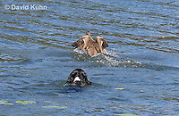 0222-1201  Tri-Colored English Springer Spaniel Hunting Dog Swimming in Water  © David Kuhn/Dwight Kuhn Photography