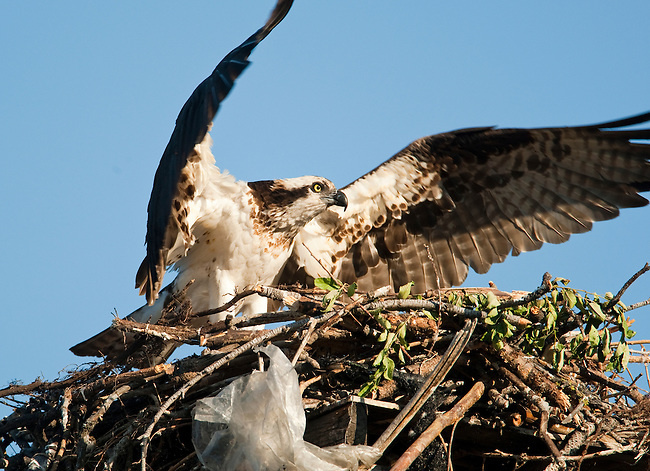 An osprey takes flight near Kelowna, British Columbia, Canada, on July 1, 2009.  Notice the piece of a plastic bag incorporated into the nest. Photo by Gus Curtis