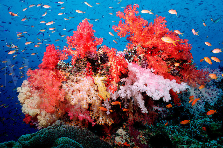 A tropical coral reef provides shelter for huge numbers of animals, Fiji, Indo-Pacific