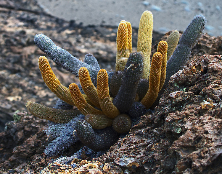 Large grey-blue, yellow and gold lava cactus growing on the lava rock found on North Seymore Island in the Galapagos. This multi-colored cactus was the only color visible on this amazing volcanic island.
