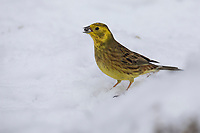 Goldammer, Winter, Schnee, Gold-Ammer, Ammer, Emberiza citrinella, yellowhammer, snow, Le Bruant jaune