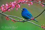 Indigo Bunting (Passerina cyanea) male perched in flowering Eastern Redbud (Cercis canadensis) in spring, New York, USA <br />  Slide # B167-1242