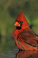 Northern Cardinal, Cardinalis cardinalis,male bathing, Willacy County, Rio Grande Valley, Texas, USA